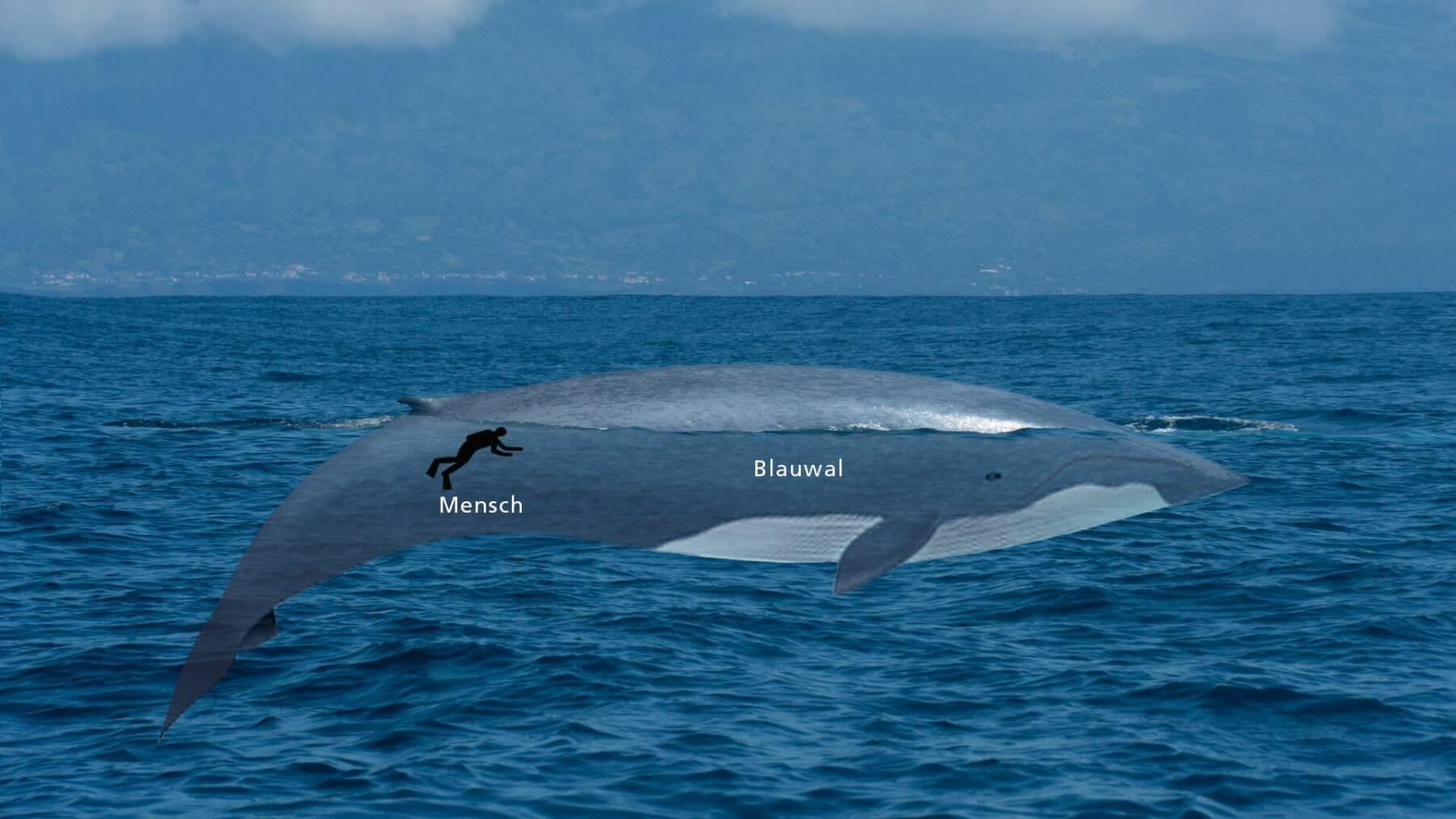 Blauwal im Größenvergleich